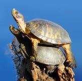 Twee schildpadden op een logboek Stock Afbeelding