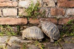 Twee schildpaddenclose-up Royalty-vrije Stock Afbeeldingen