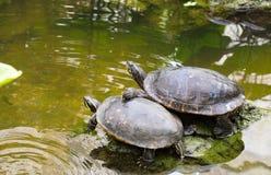 Twee schildpadvrienden Royalty-vrije Stock Afbeeldingen