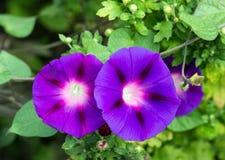 Twee schitterende bloemen ochtend-glorie, close-up, ipomoea, windebloem stock afbeelding