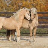 Twee schitterende Welse poneyhengsten die samen spelen Stock Fotografie