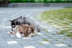 Twee Schor puppy Draagstoelhonden die op de straat slapen Stock Afbeelding