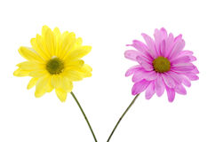Twee Shasta Daisy Flowers: roze en geel Royalty-vrije Stock Afbeelding