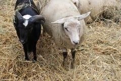 Twee sheeps stock foto