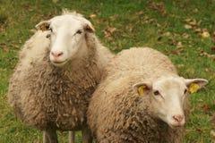 Twee sheeps Royalty-vrije Stock Fotografie