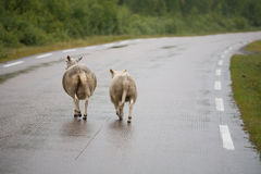Twee sheeps Royalty-vrije Stock Foto's