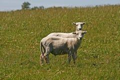 Twee sheeps in Bodmin leggen, Engeland vast Stock Fotografie