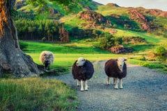 Twee sheeps op weiland bij zonsondergang in het Meerdistrict Royalty-vrije Stock Afbeeldingen
