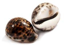 Twee shells op wit Royalty-vrije Stock Afbeeldingen