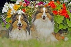 Twee Sheltie Hond in tuin Royalty-vrije Stock Afbeeldingen