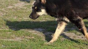 Twee Shepdogs gaan langs het Meerstrand Zij zijn Nat maar Voorzichtig in slo-Mo stock videobeelden