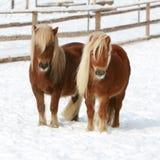 Twee Shetland die ponnies zich in de winter verenigen royalty-vrije stock foto's