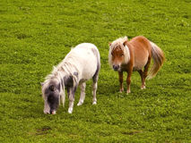 Twee Shetland poneys Royalty-vrije Stock Foto's