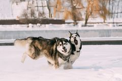 Twee Siberisch Husky Dogs Running Together Outdoor in Sneeuwpark A royalty-vrije stock foto's