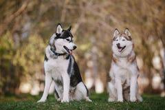 Twee Siberische huskies die in het park zitten stock foto