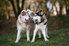 Twee Siberische huskies in het park stock fotografie