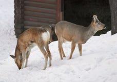 Twee Siberische Reeën op de sneeuw stock foto
