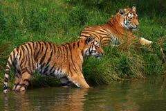 Twee Siberische tijgers Royalty-vrije Stock Afbeeldingen