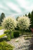 Twee sier tot bloei komende bomen verfraaien de tuin Royalty-vrije Stock Fotografie