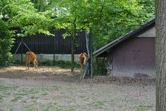 Twee sitatungas, of Tragelaphus-spekii Stock Foto