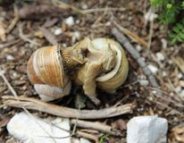 twee slakken met shell tijdens het koppelen in het seizoen van liefdes stock fotografie