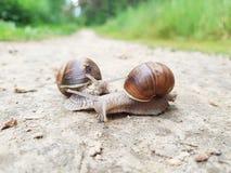 Twee slakken op de bosweg stock afbeelding