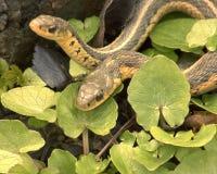 Twee Slangen Stock Foto's