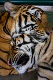 Twee slaperige tijgers Royalty-vrije Stock Foto's