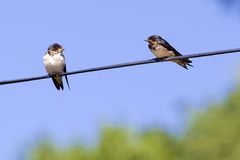 Twee slikken vogels op draad stock afbeelding