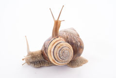 Twee snails.isolated Stock Foto