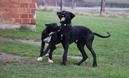Twee speel grote Denen in het park stock afbeelding