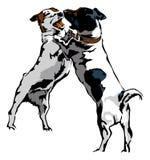 Twee speeljack russel terrier Royalty-vrije Stock Foto