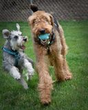 Twee speelse honden in openlucht royalty-vrije stock foto