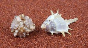 Twee spiraalvormige shells op ruw zand Stock Afbeelding