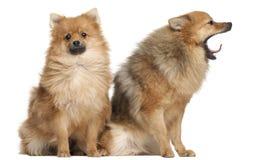Twee Spitz honden, 1 éénjarige, het zitten Royalty-vrije Stock Afbeelding