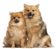 Twee Spitz honden, 1 éénjarige, het zitten Stock Afbeelding
