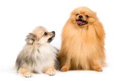 Twee spitz-honden in studio Royalty-vrije Stock Foto
