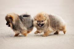 Twee Spitz Pomeranian puppy Royalty-vrije Stock Foto