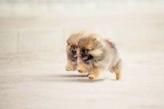 Twee Spitz Pomeranian puppy Stock Afbeeldingen