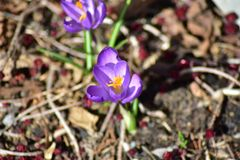 Twee springflowers bij de weide in de lente royalty-vrije stock foto's