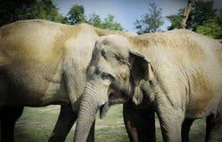 Twee Sri Lankan assoieert de wilde olifant affectionately het spelen op een grasgebied royalty-vrije stock fotografie