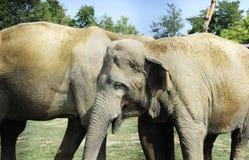 Twee Sri Lankan assoieert de wilde olifant affectionately het spelen op een grasgebied royalty-vrije stock afbeeldingen