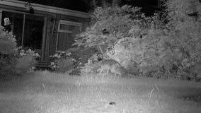 Twee Stedelijke vossen tuinieren binnenshuis bij nacht het voeden stock video