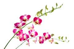 Twee stelen van mooie oosterse magenta orchideeën Stock Afbeeldingen