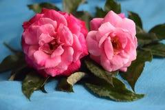 Twee stelen van roze rozen Stock Afbeelding