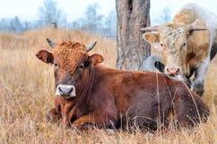 Twee stieren in een weiland. Stock Afbeeldingen