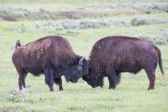 Twee stierenbuffels die samen sparring Stock Fotografie