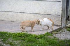 Twee straat grote kat die elkaar intimideren alvorens te vechten wit royalty-vrije stock afbeeldingen
