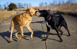 Twee straathonden die bij elkaar in een spelstrijd snauwen royalty-vrije stock foto