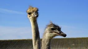 Twee struisvogel hoofdclose-up Stock Afbeeldingen